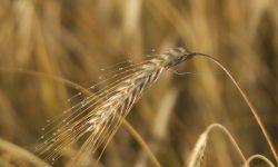 Reifes Getreide im August