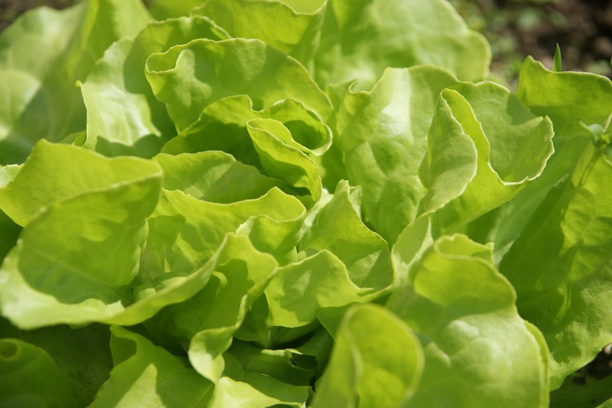 Salat – Kopfsalat selbst anbauen