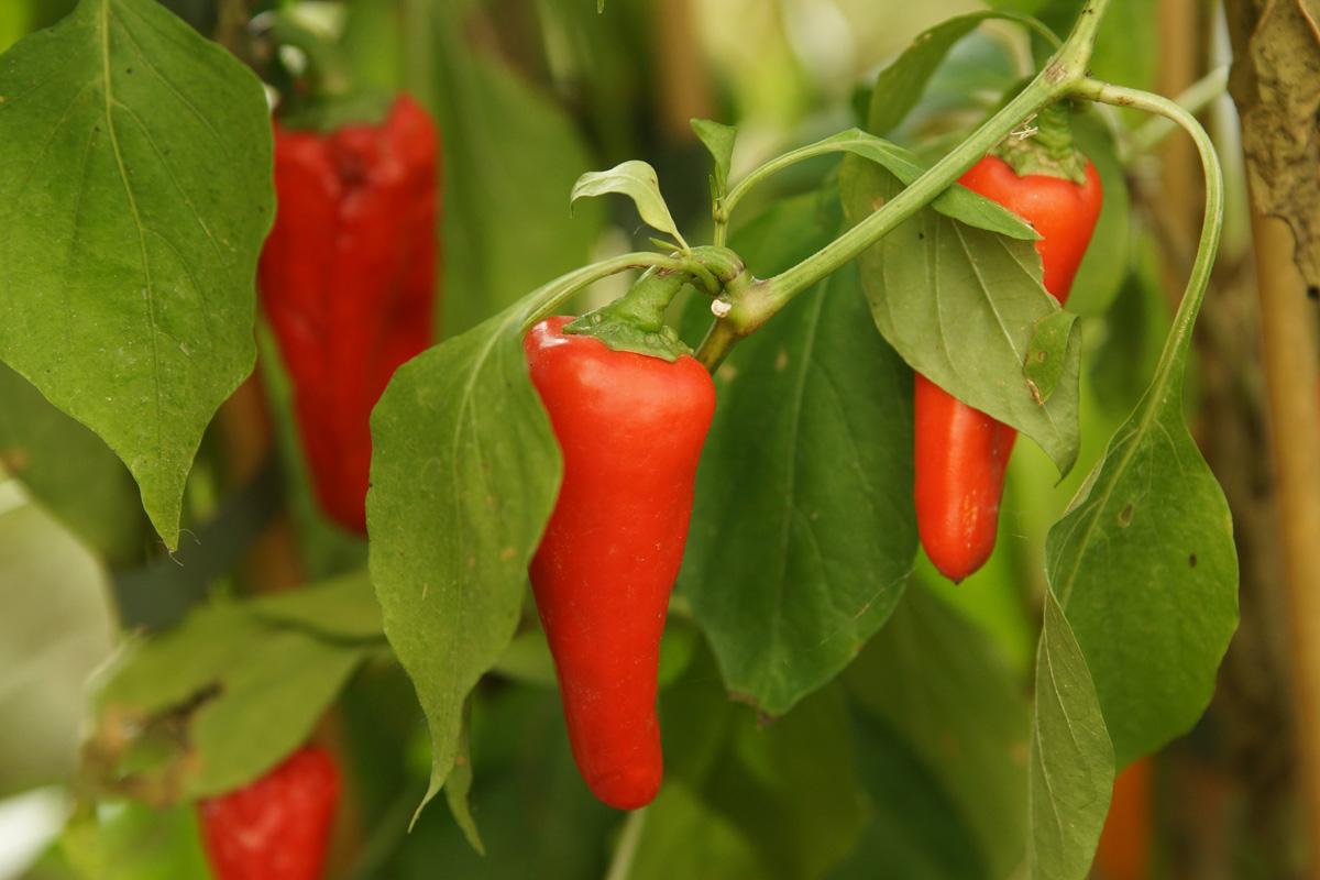 Paprika Frucht