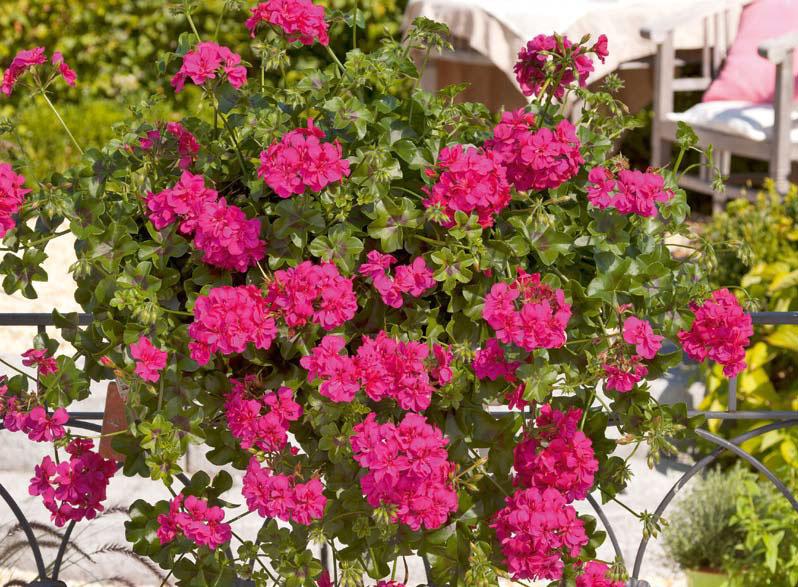 Pelargonie Neon Pink